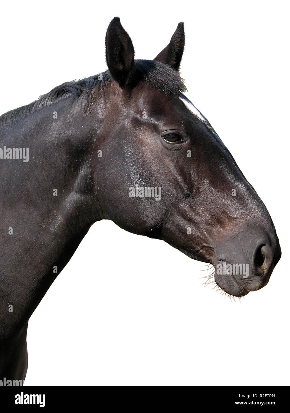 Black Horse Head Optional Stock Photo Alamy