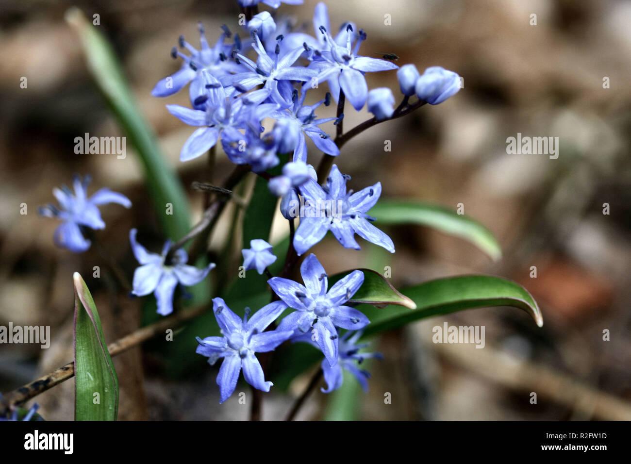 heilpflanze blaustern