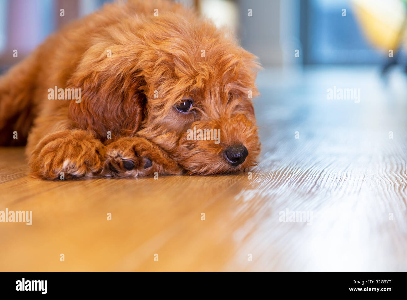 Cute Labradoodle Puppy High Resolution Stock Photography And Images Alamy