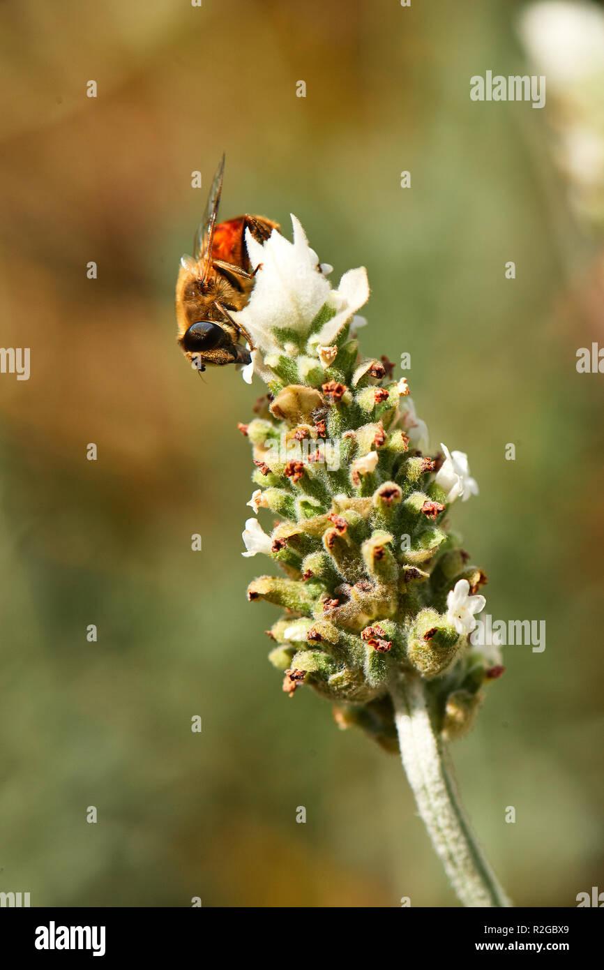 Honey bee on white lavender - Stock Image