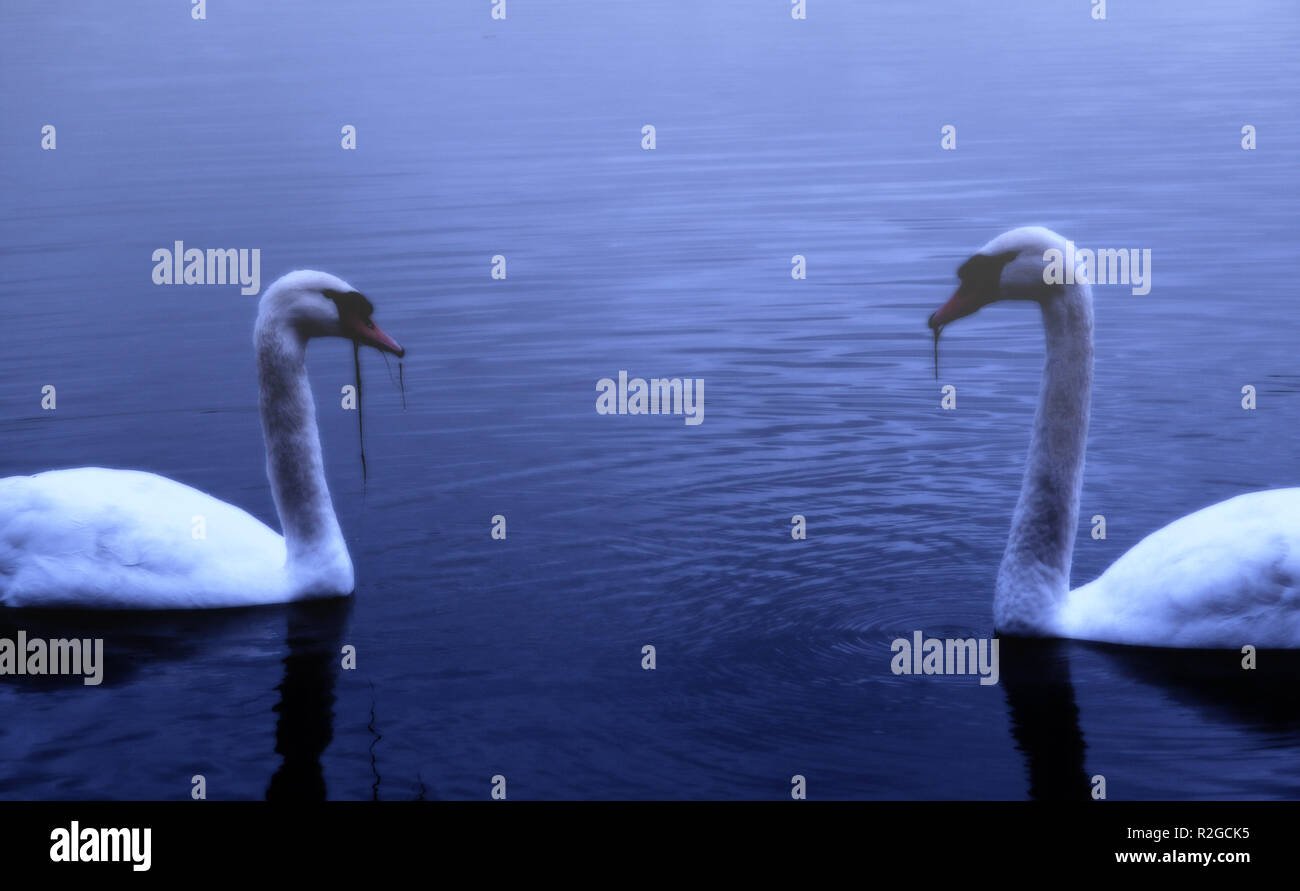 swans at night - Stock Image