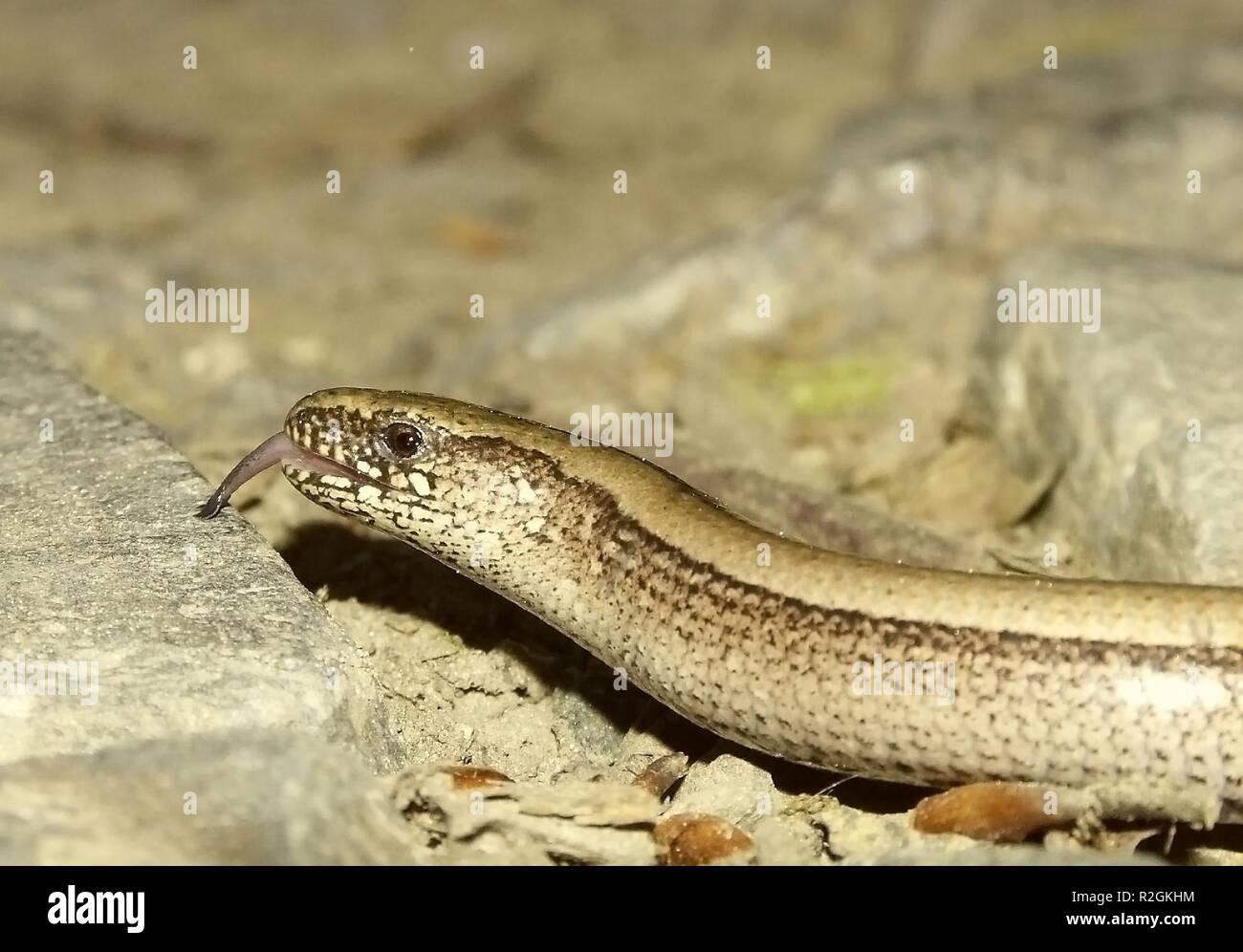 licking slowworm - Stock Image