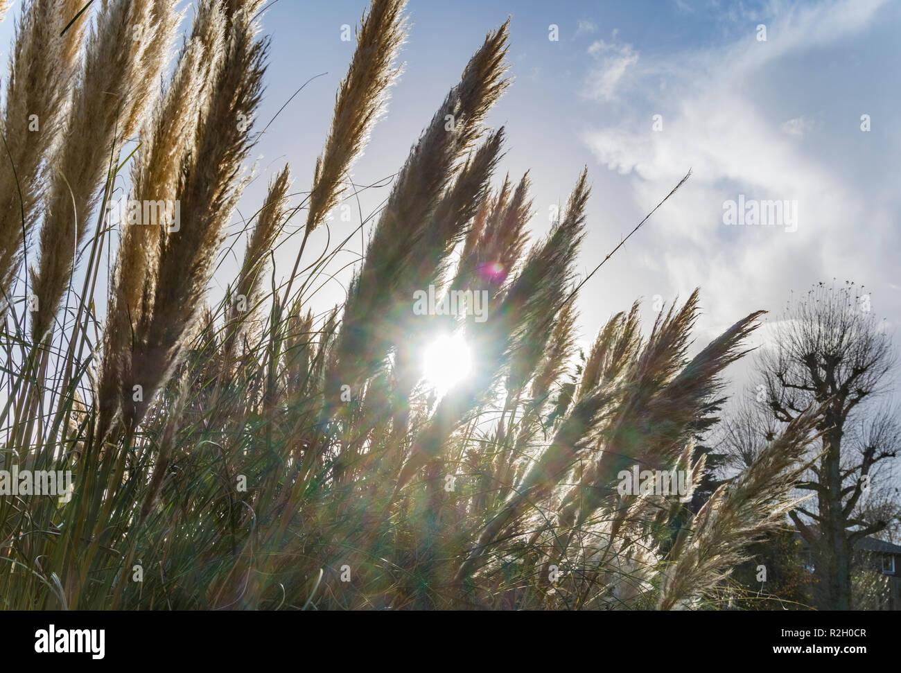 Low sun shining through Pampas Grass (Cortaderia selloana) in Autumn in the UK. - Stock Image