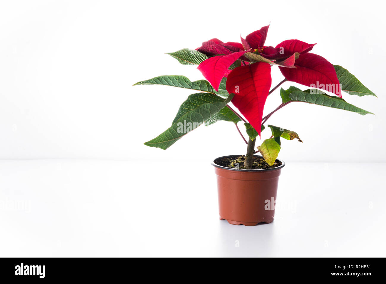 Christmas poinsettia flower isolated on white background. Copyspace - Stock Image