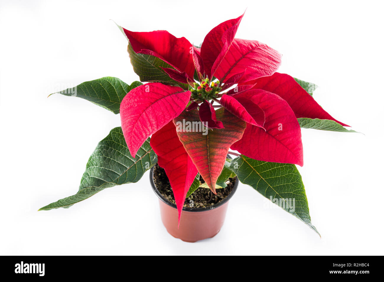 Christmas poinsettia flower isolated on white background. - Stock Image
