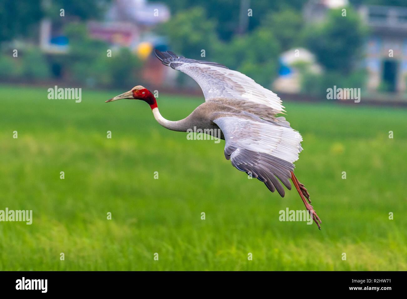 Sarus crane - Stock Image
