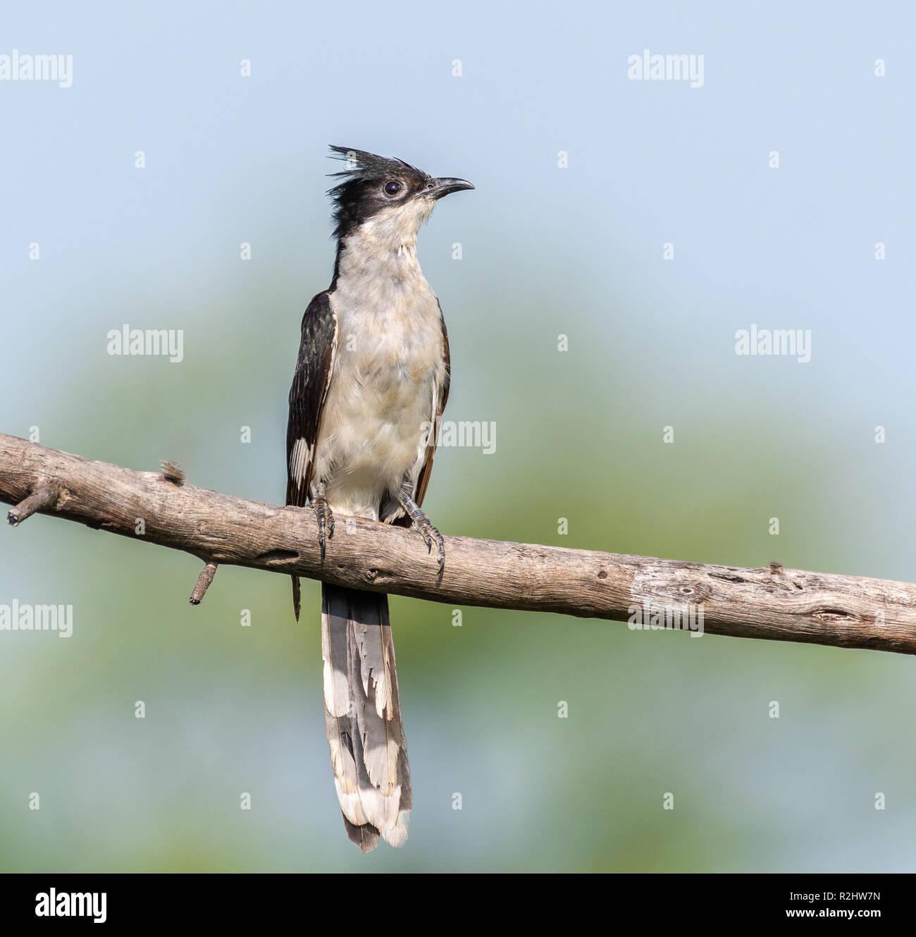 Jacobin cuckoo - Stock Image