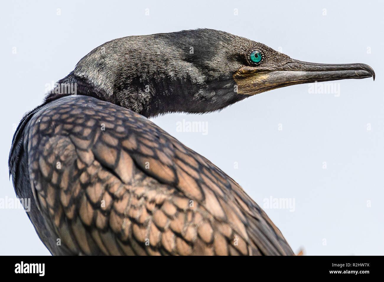 Indian cormorant - Stock Image