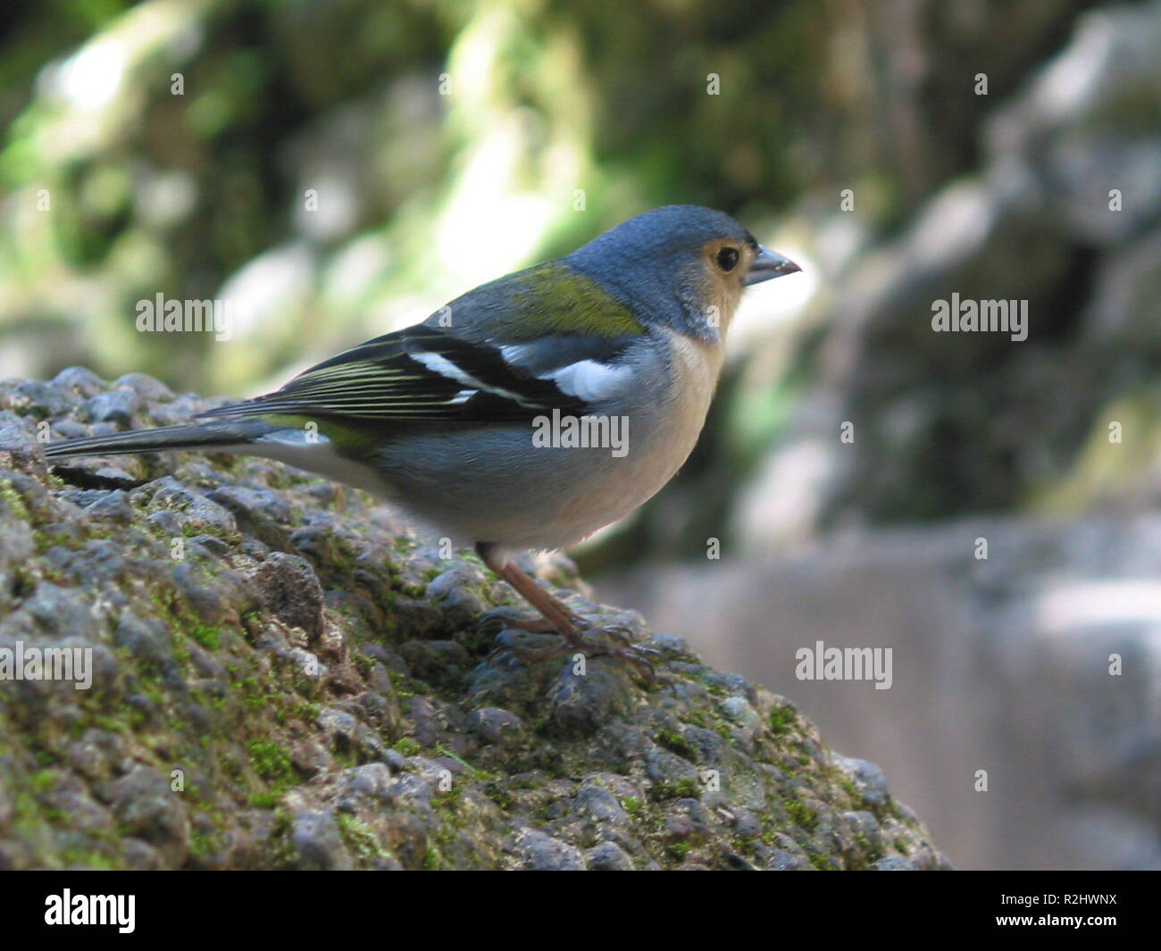 chaffinch in madeira - Stock Image