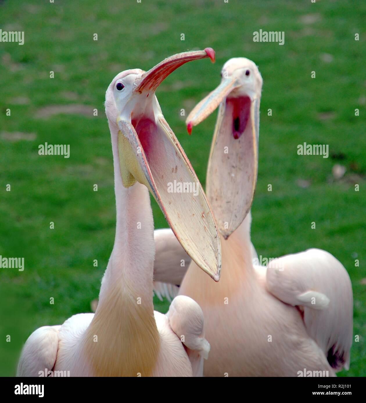 duet - Stock Image