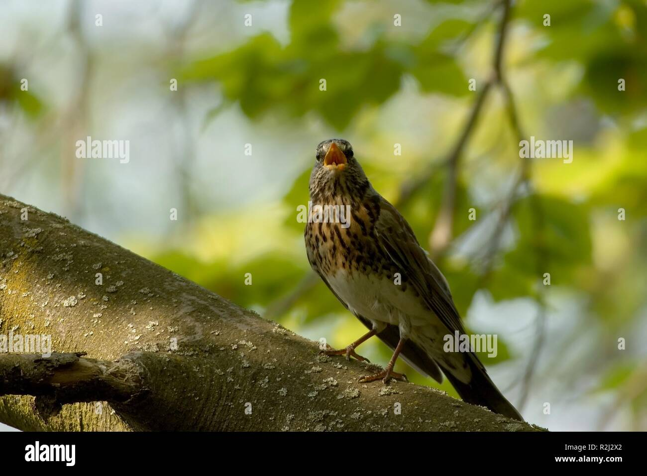 blackbird,throttle ii Stock Photo