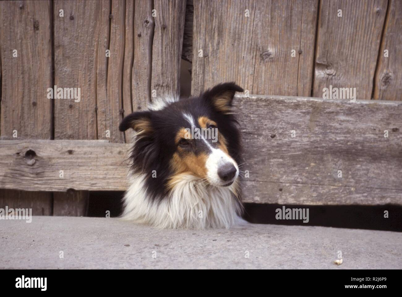 collie Stock Photo