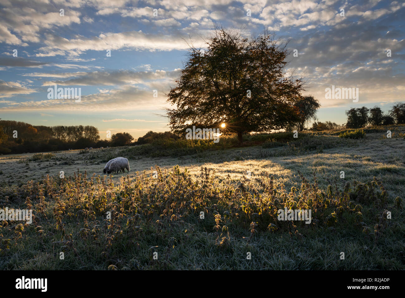 Sheep grazing in frosty field at sunrise with backlit tree and nettles, Chipping Campden, Cotswolds, Gloucestershire, England, United Kingdom, Europe - Stock Image