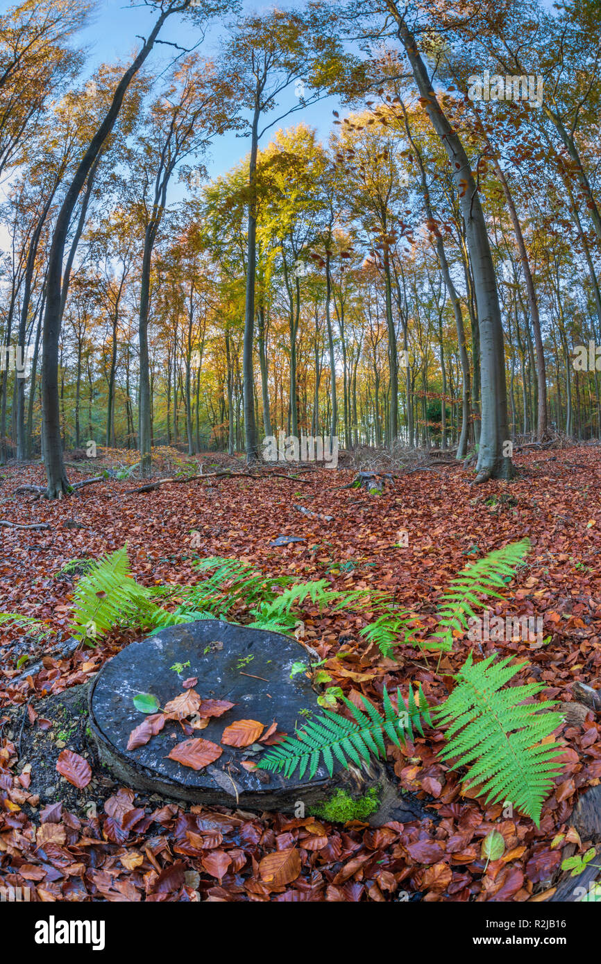 Tree stump surrounded by ferns and fallen leaves in beech wood, Snowshill, Cotswolds, Gloucestershire, England, United Kingdom, Europe - Stock Image