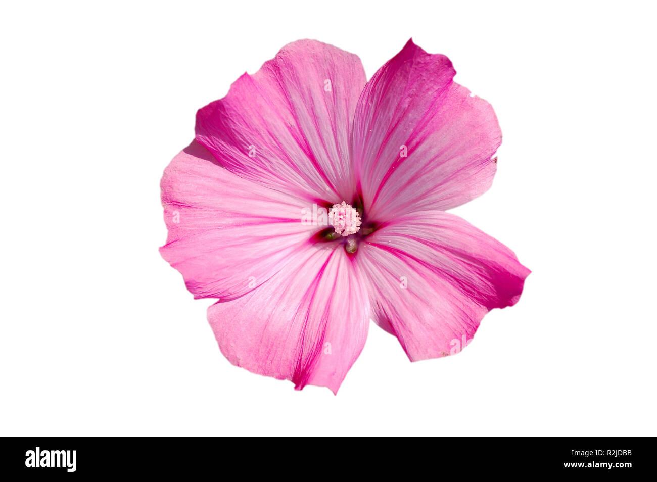 pink mallow blossom free Stock Photo