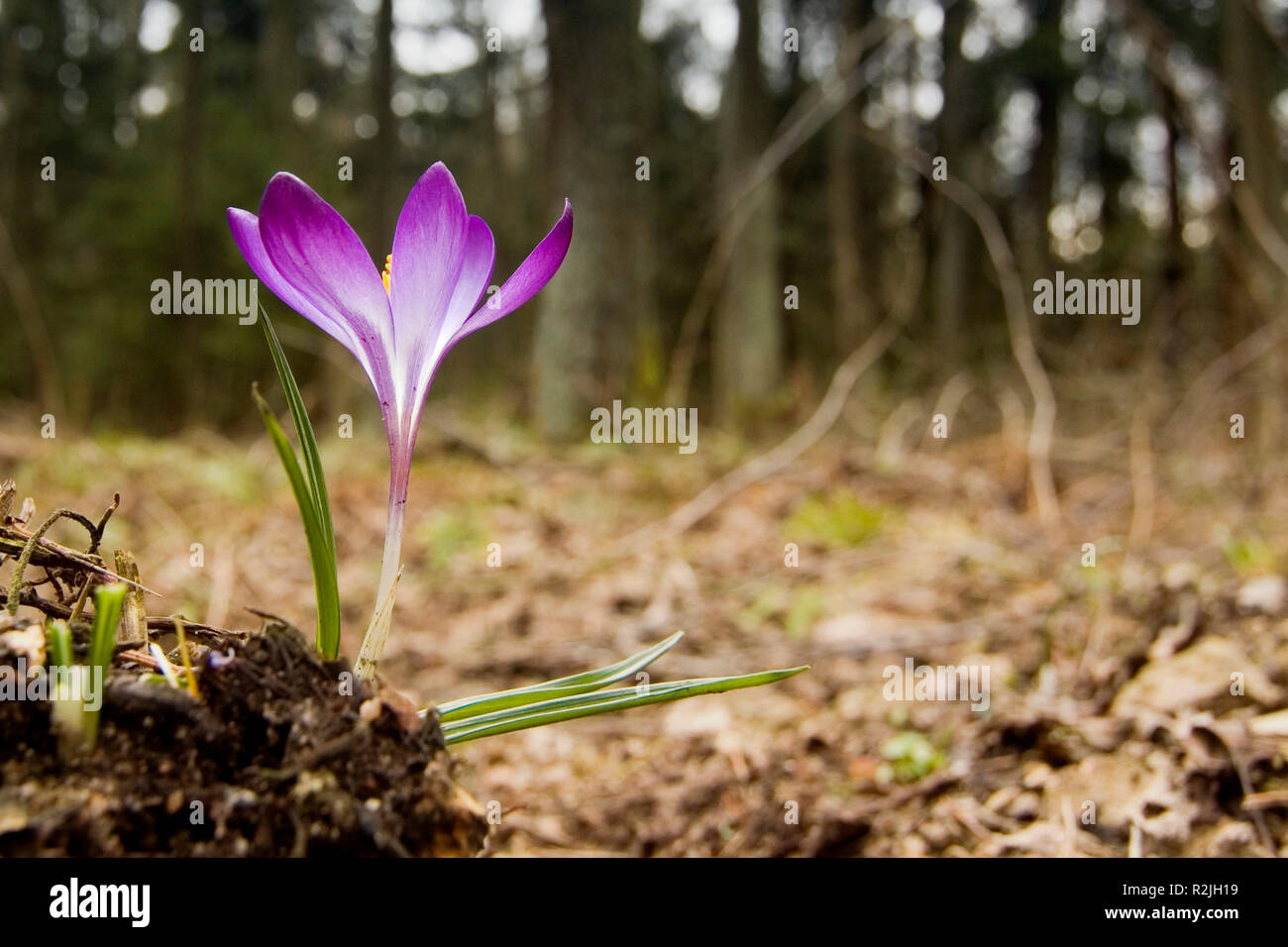 crocus sprawl in the forest - Stock Image