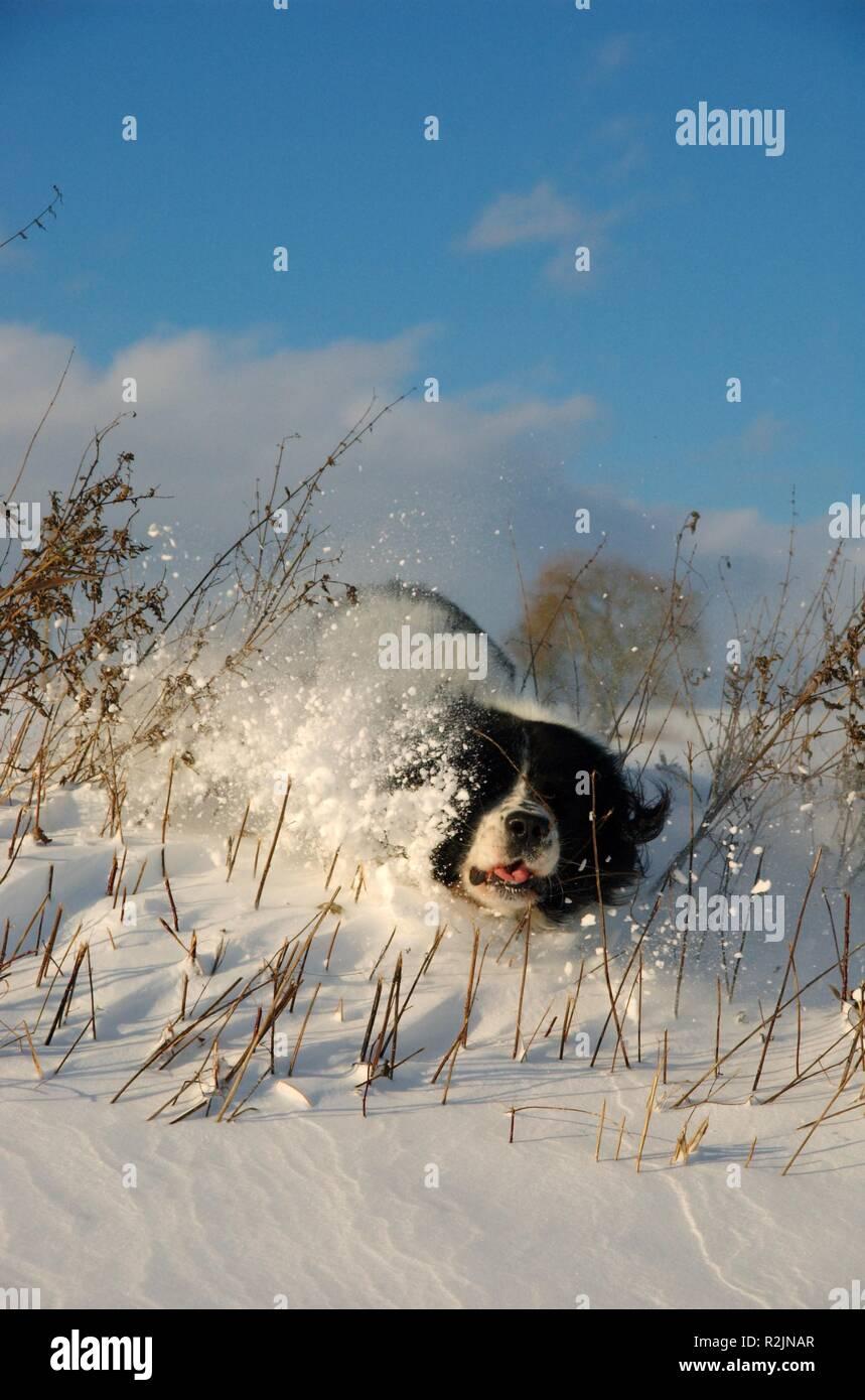 dog against snowdrift - Stock Image