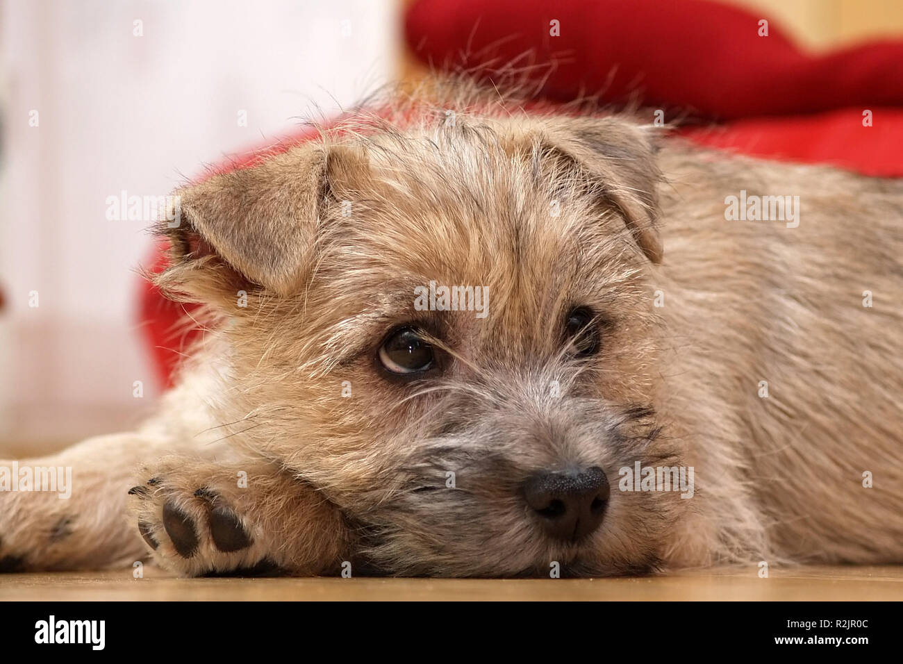 our new cairn terrier baby - Stock Image
