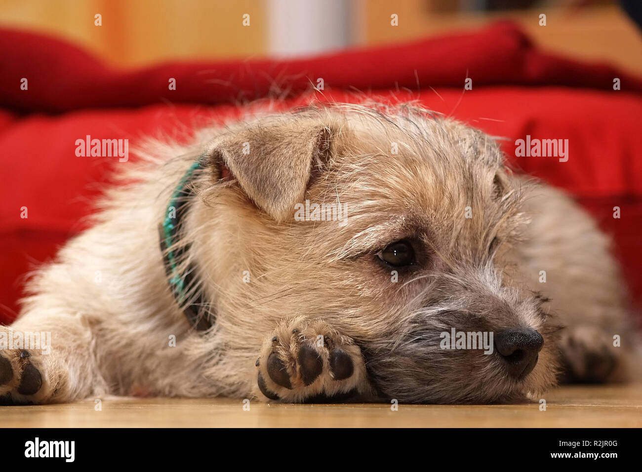 our new cairn terrier baby ii - Stock Image