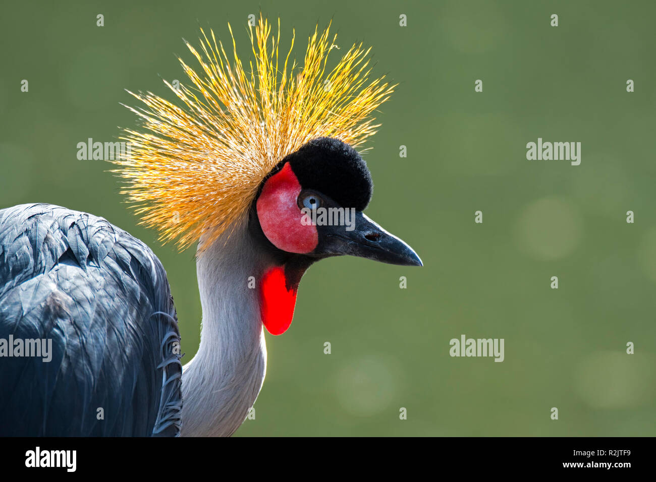 Grey crowned crane (Balearica regulorum) close up portrait showing bright red inflatable throat pouch, native to eastern and southern Africa Stock Photo