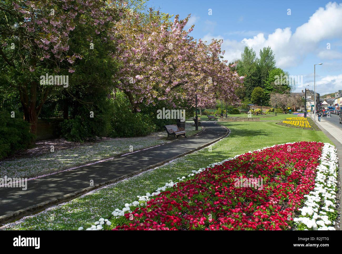 Galashiels,  Scottish Borders.  Cherry  Blossom trees in Bank Street Gardens, Galashiels. - Stock Image