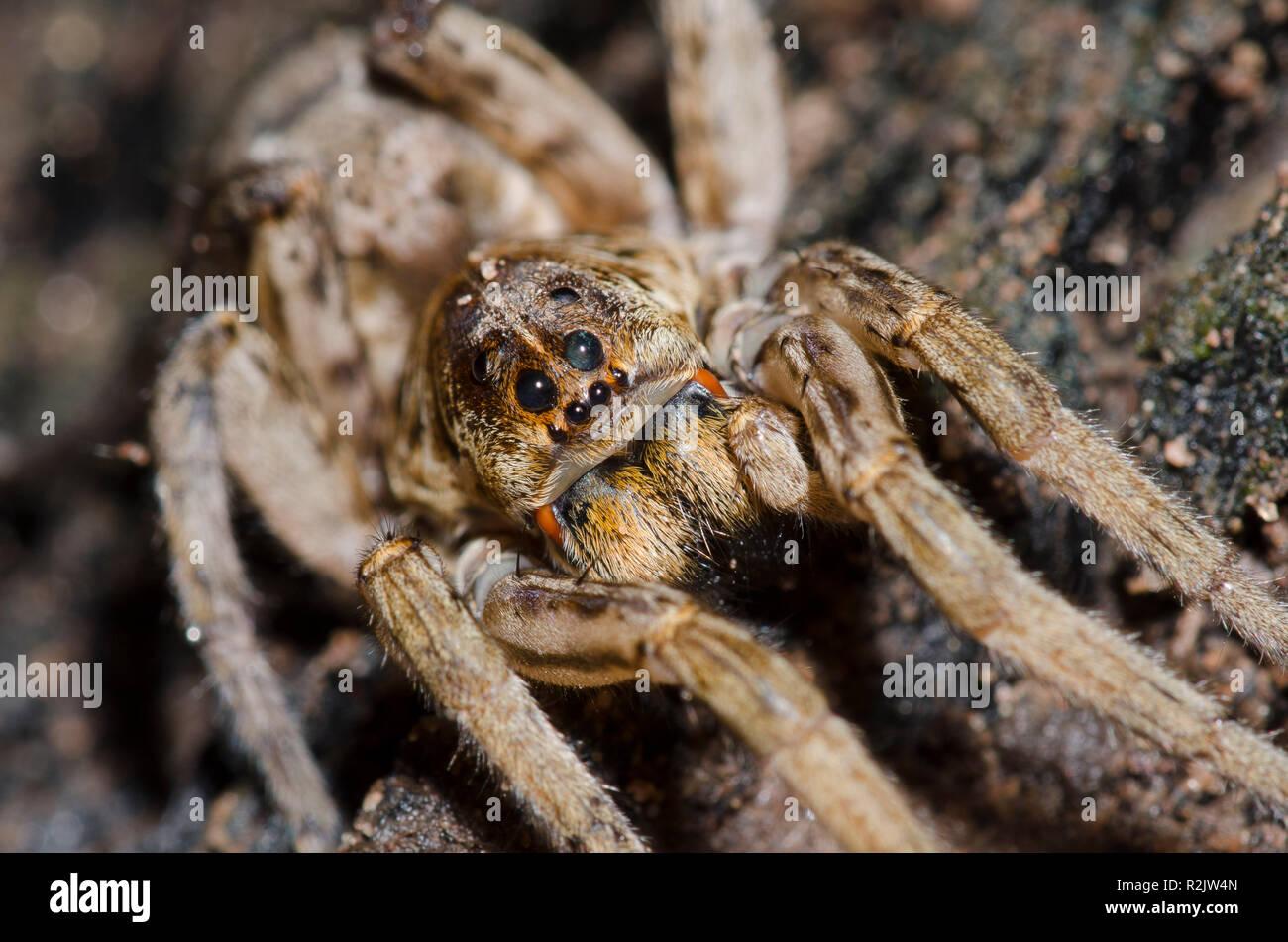 Wolf Spider, Hogna baltimoriana - Stock Image