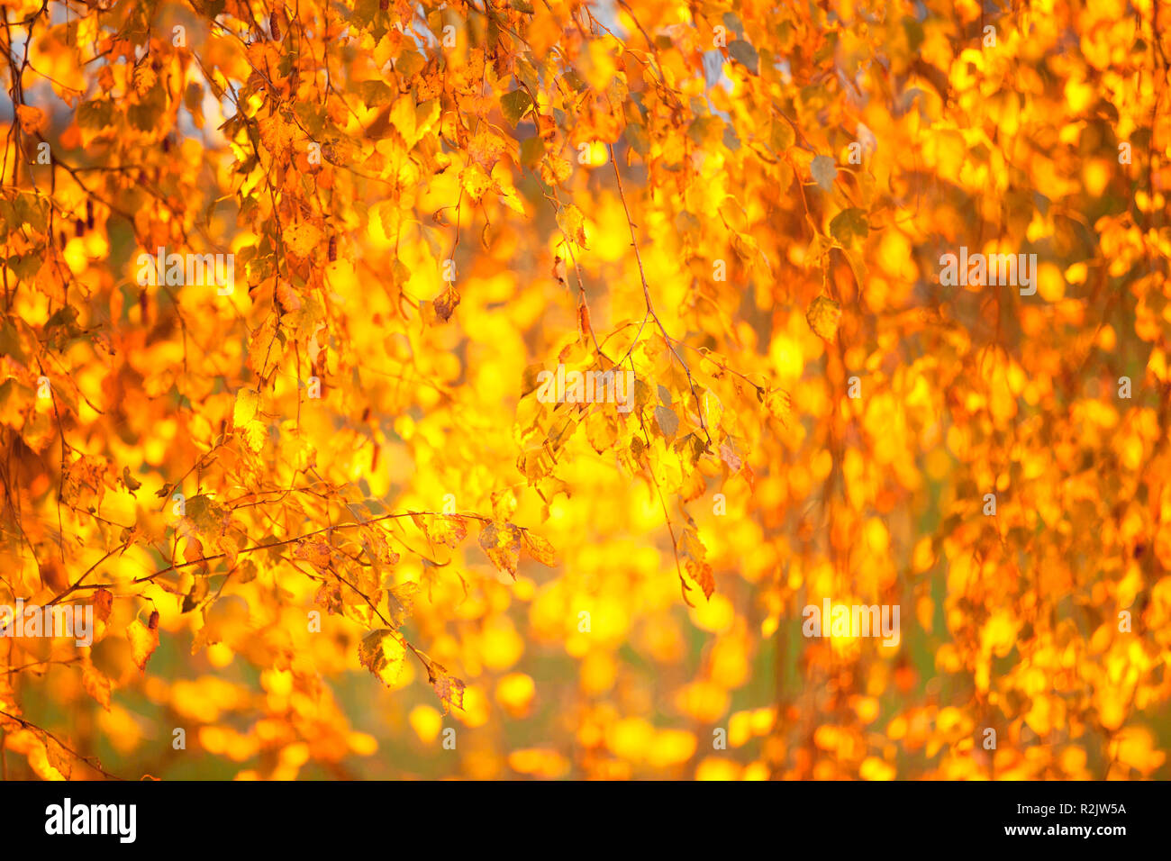 Birch leaves in the morning light - Stock Image