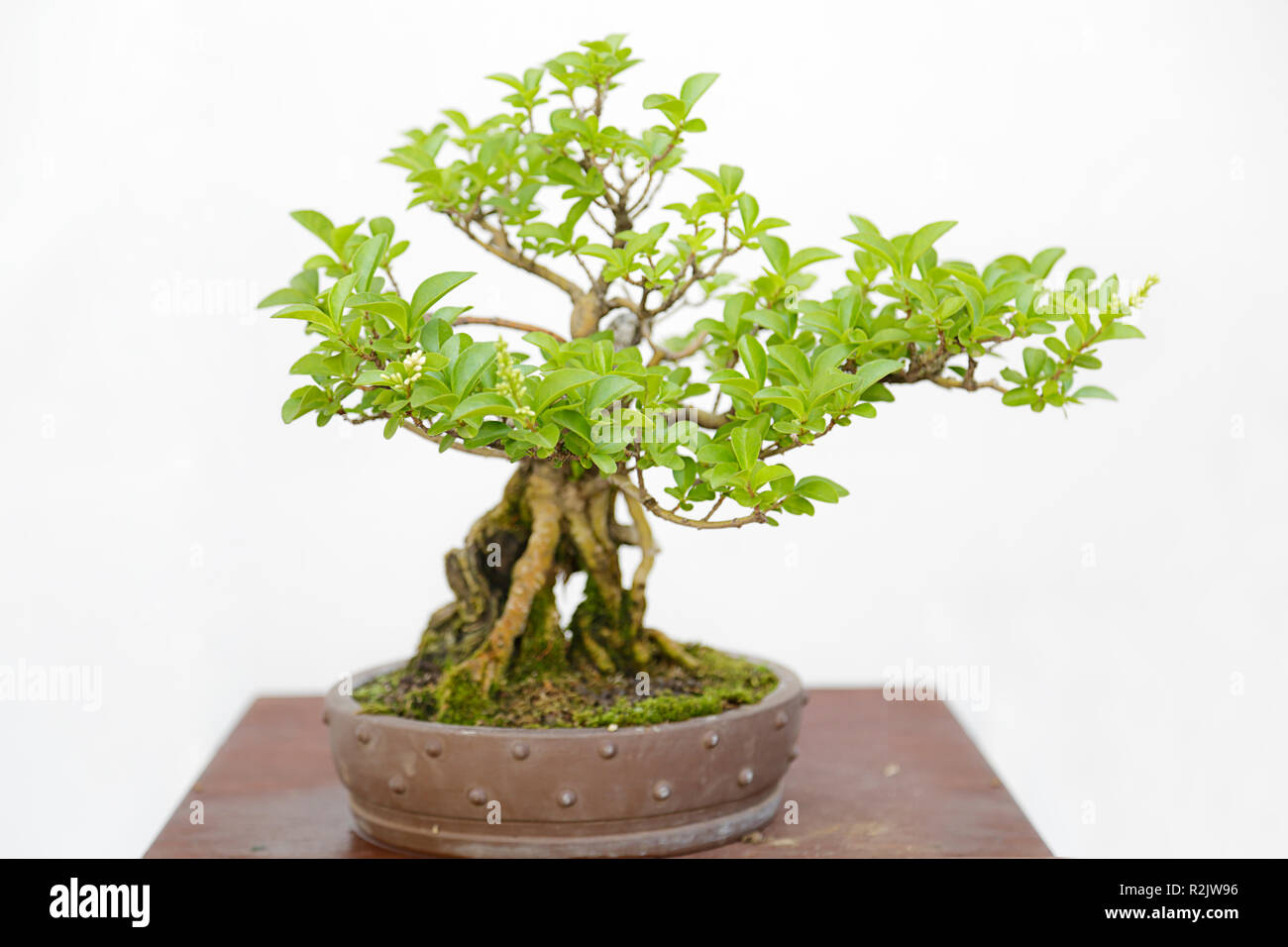 Chinese Privet High Resolution Stock Photography And Images Alamy