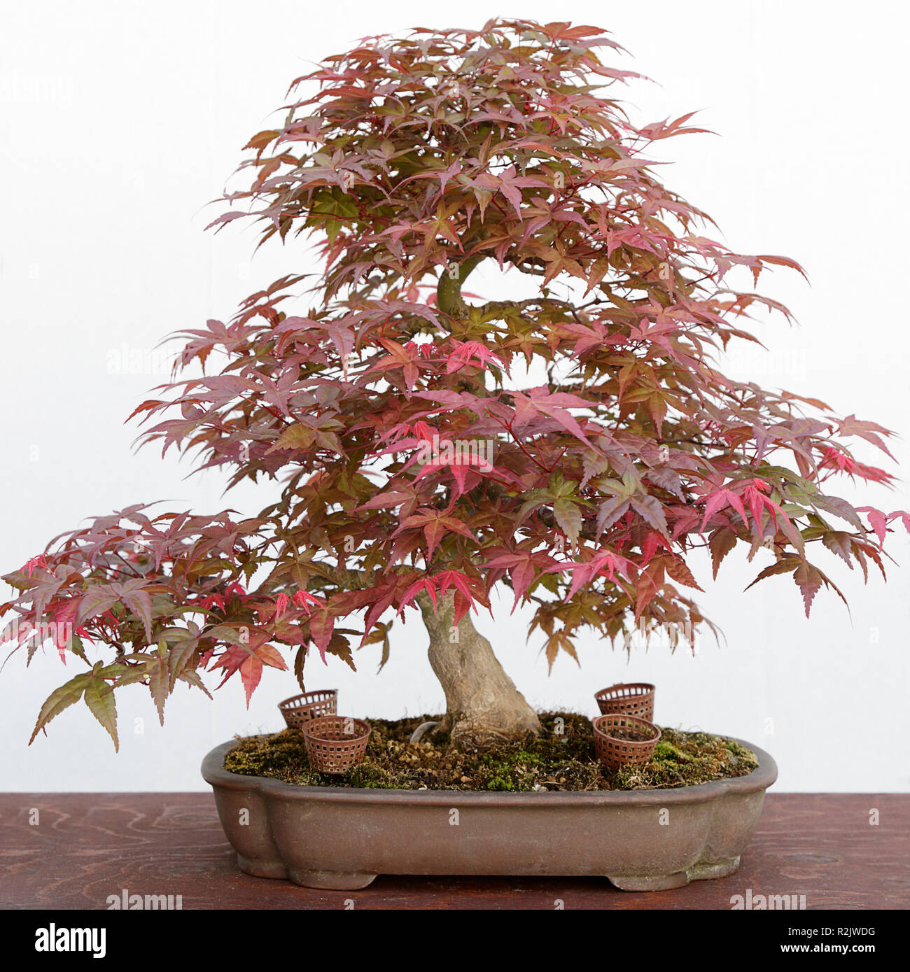Maple Bonsai Stock Photos Maple Bonsai Stock Images Alamy