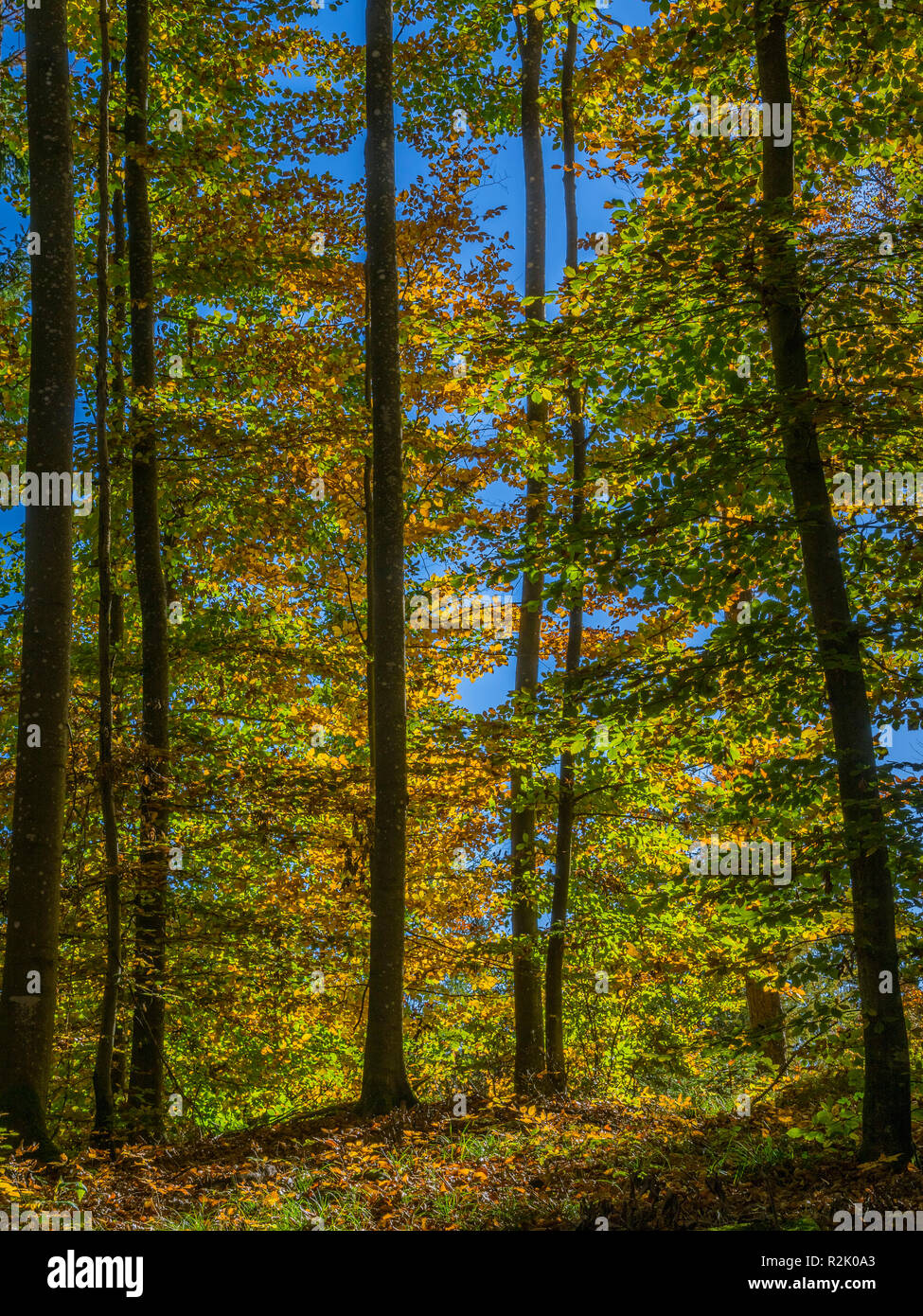 Colored beech forest in autumn - autumn coloration, Bavaria Germany, Europe Stock Photo