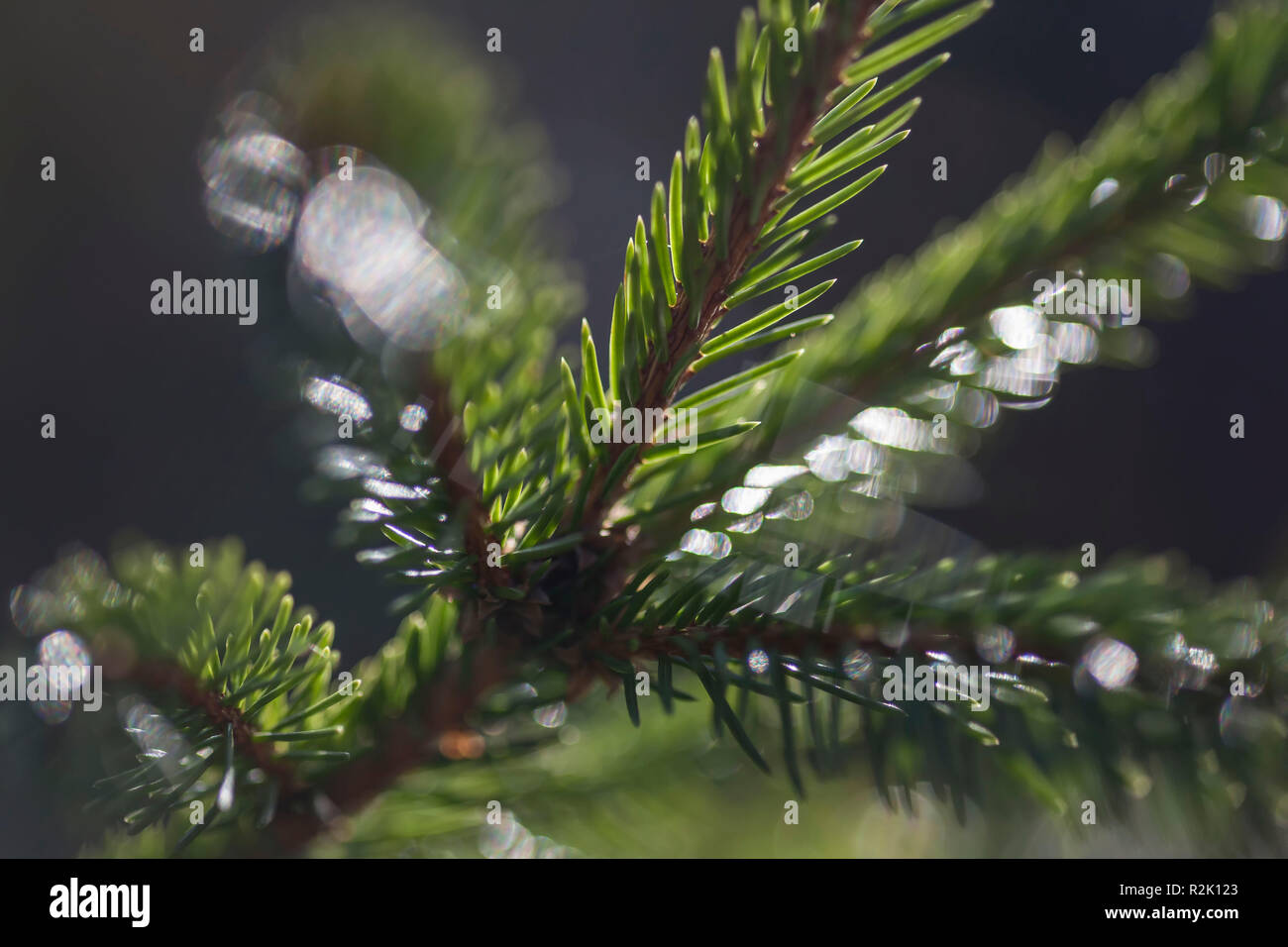 Close-up, spruce branch - Stock Image