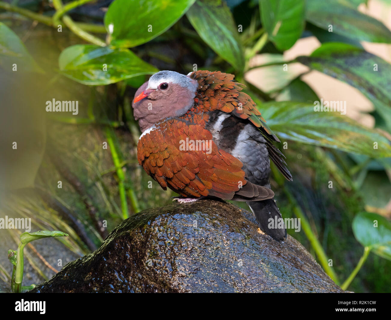 Common emerald dove Chalcophaps indica Asian emerald dove,Grey-capped emerald dove - Stock Image