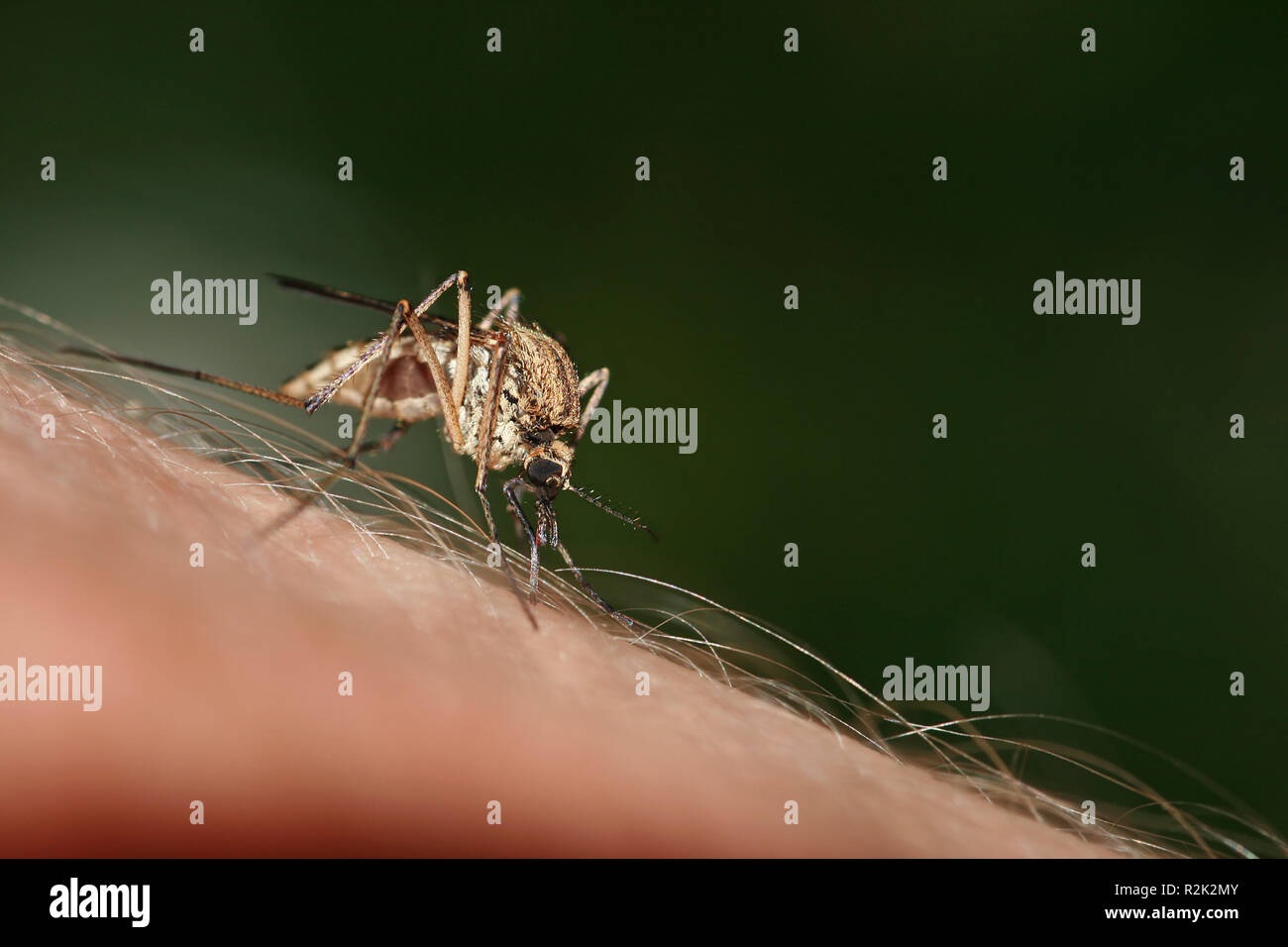 mosquito bite i Stock Photo
