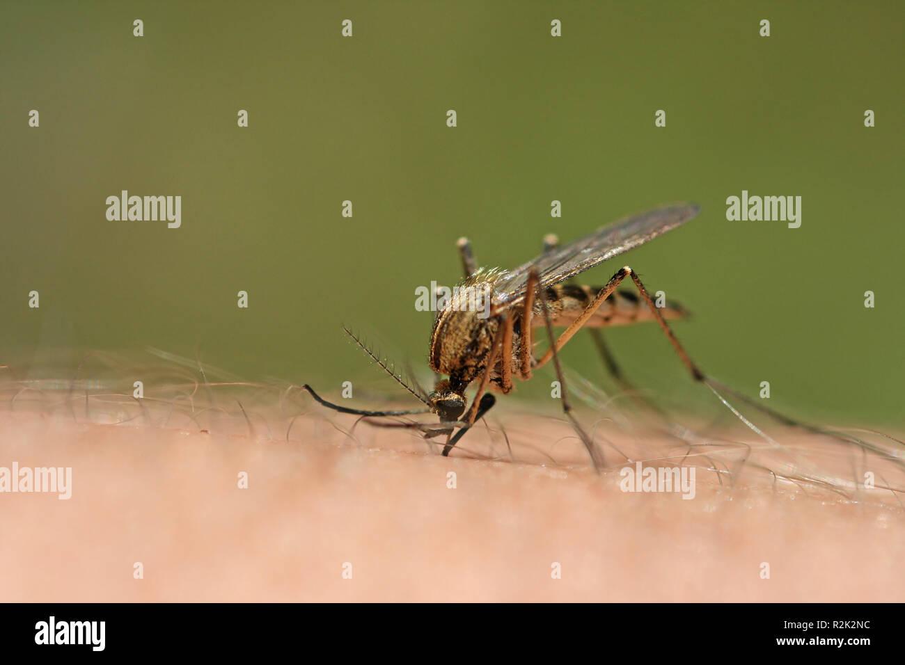 mosquito bite iv Stock Photo