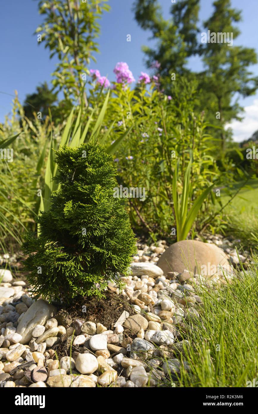 dwarf conifer, conifer in the summer garden, - Stock Image