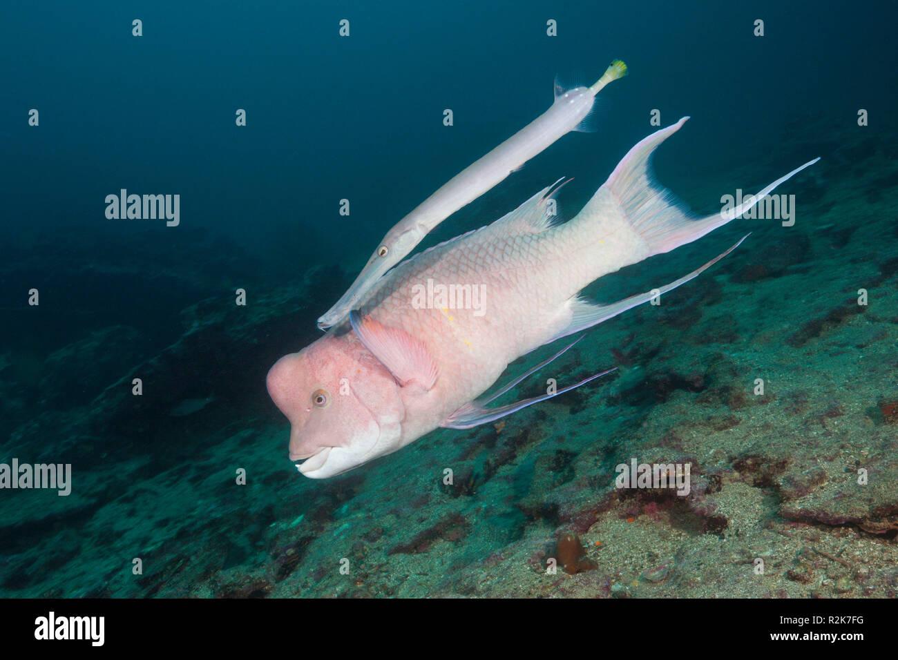 Mexican Hogfish accompanied by Trumpetfish, Bodianus diplotaenia, Cousins Rock, Santiago Island, Galapagos, Ecuador - Stock Image