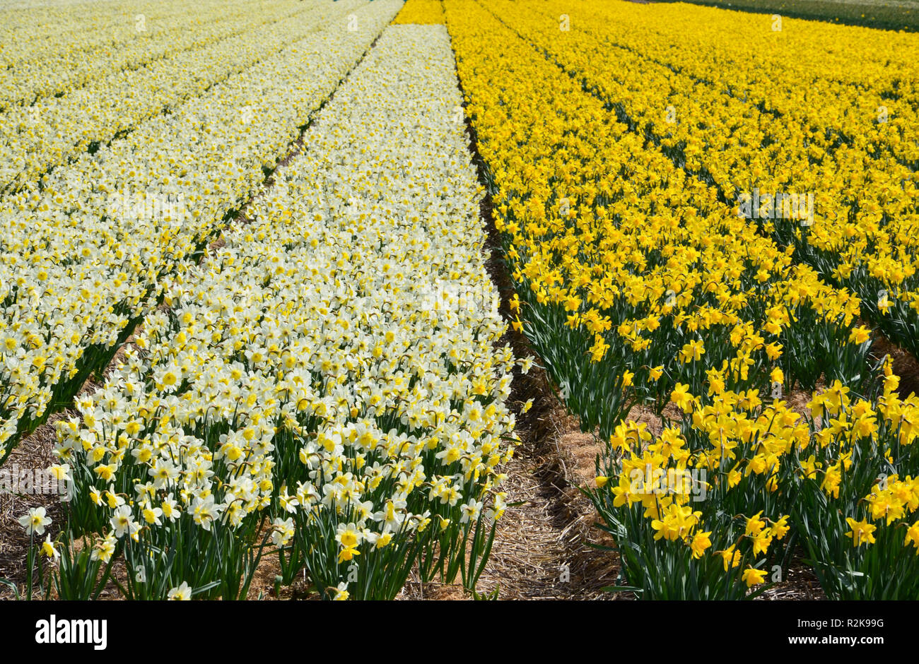 Blooming yellow daffodils in rows on a field near Amsterdam, spring, flowers, botany, agriculture, business, season, Easter holidays, sunny Stock Photo