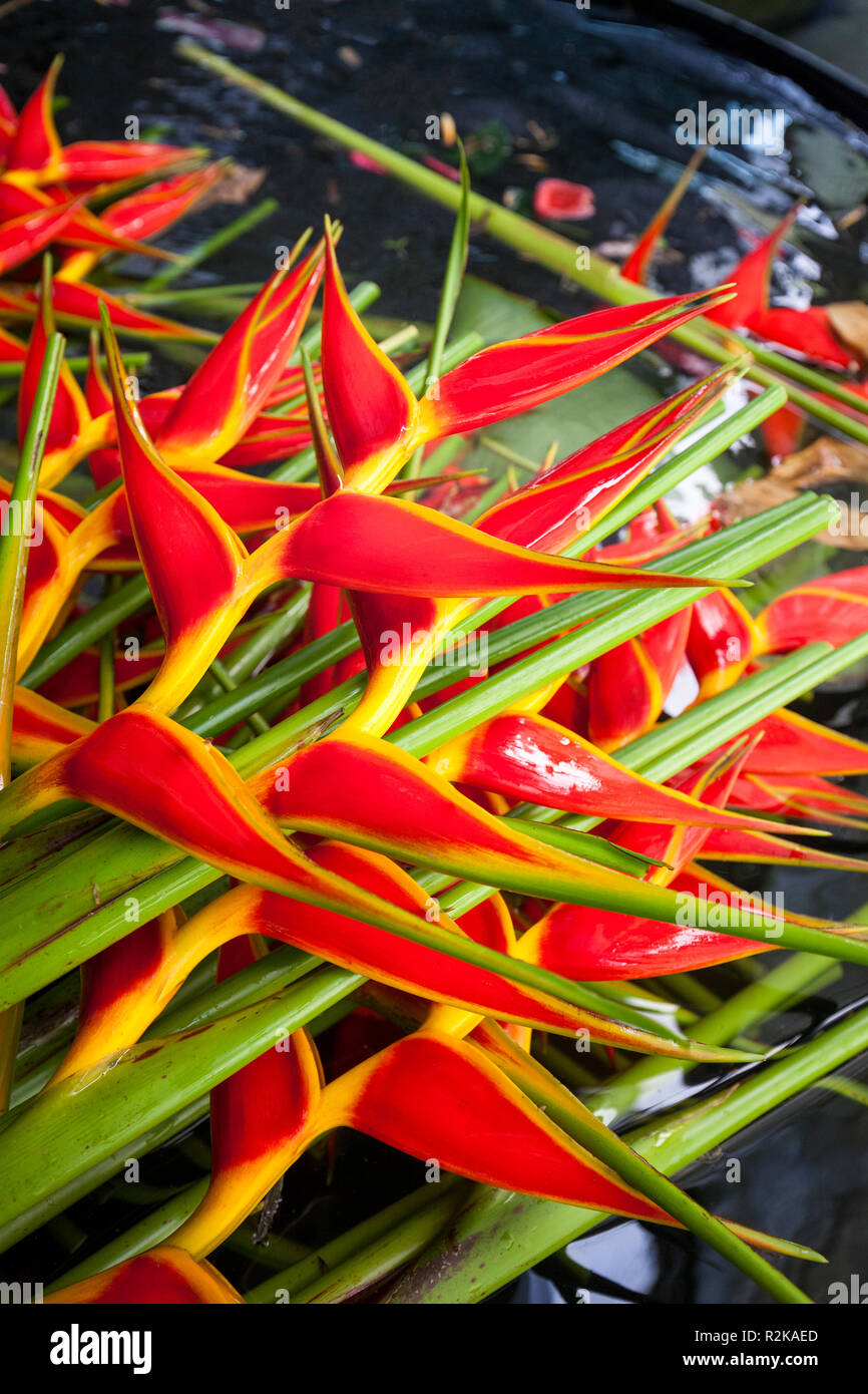 Freshly cut heliconia flowers at the Argovia coffee plantation near Tapachula, Chiapas, Mexico. - Stock Image