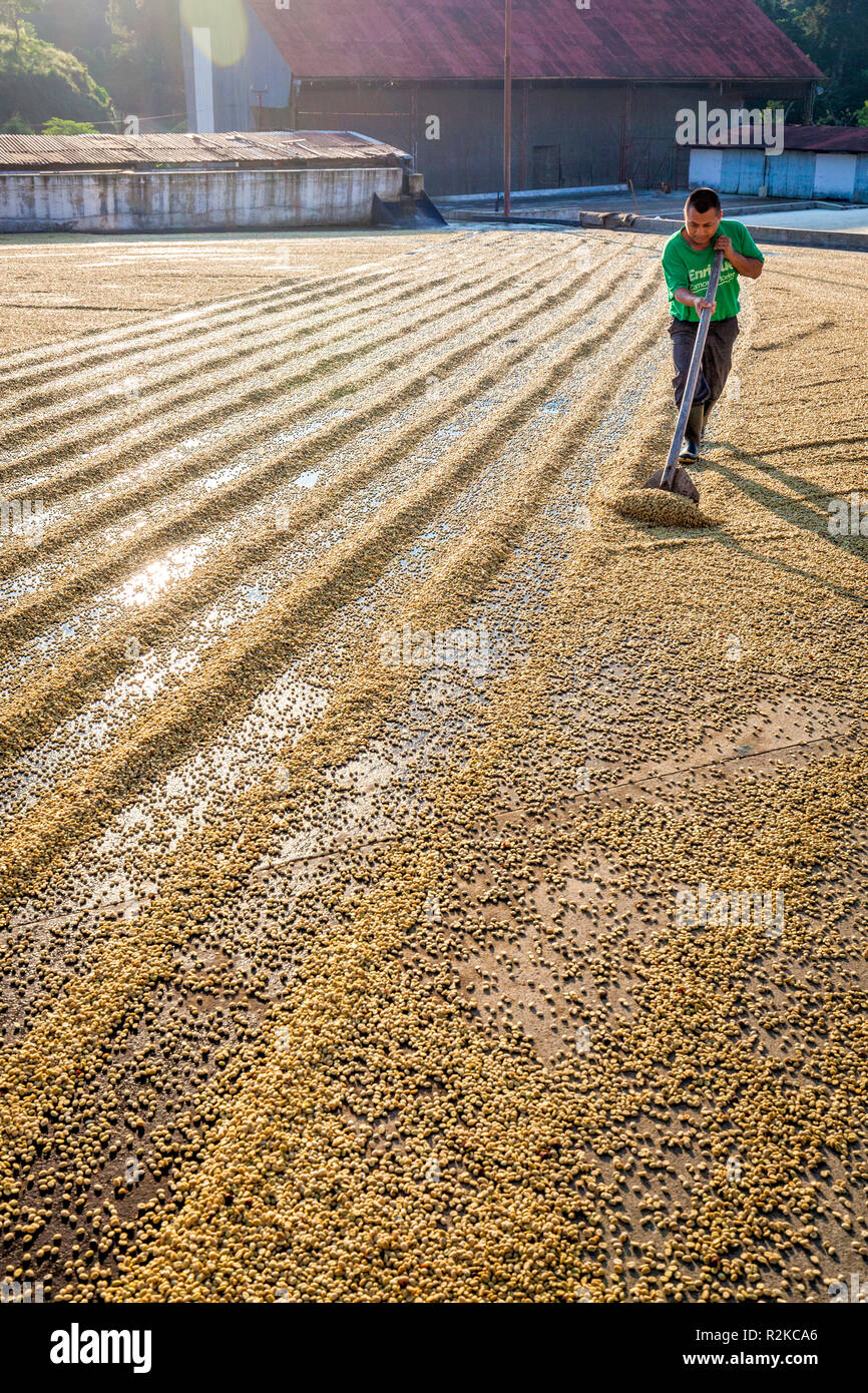 A worker makes rows of coffee beans during the drying process at Finca Hamburgo coffee plantation near Tapachula, Chiapas, Mexico. - Stock Image