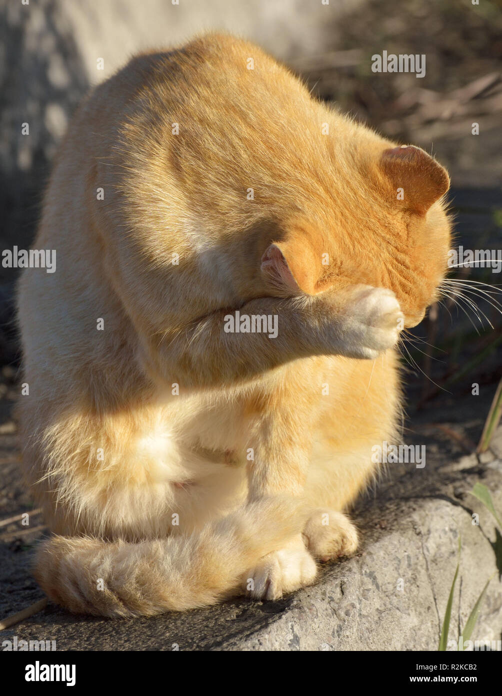 Cat washes in the sun.Tongue licks its fur. - Stock Image