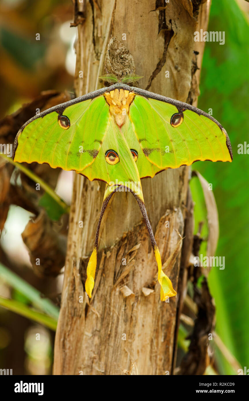 Dorsal view of a Green Peacock Moth butterfly (lat .: Actias luna) sitting on a tropical tree trunk. - Stock Image