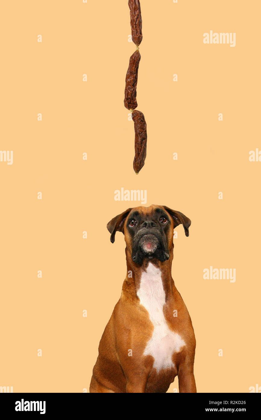 boxer looks hanging sausages Stock Photo