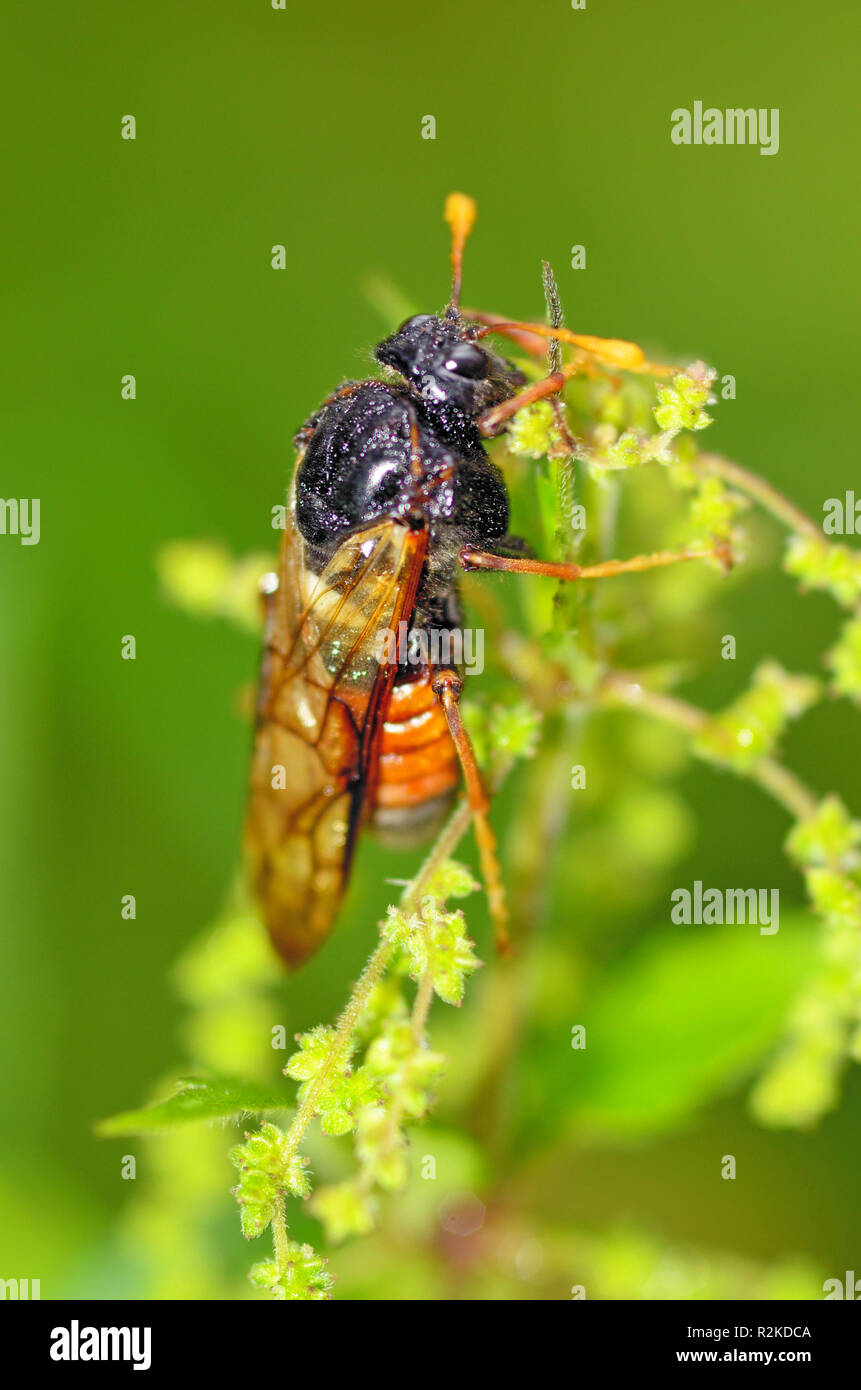 Meadow insect Cicada.They are very loud to chirp.Destroy crops in the fields. - Stock Image