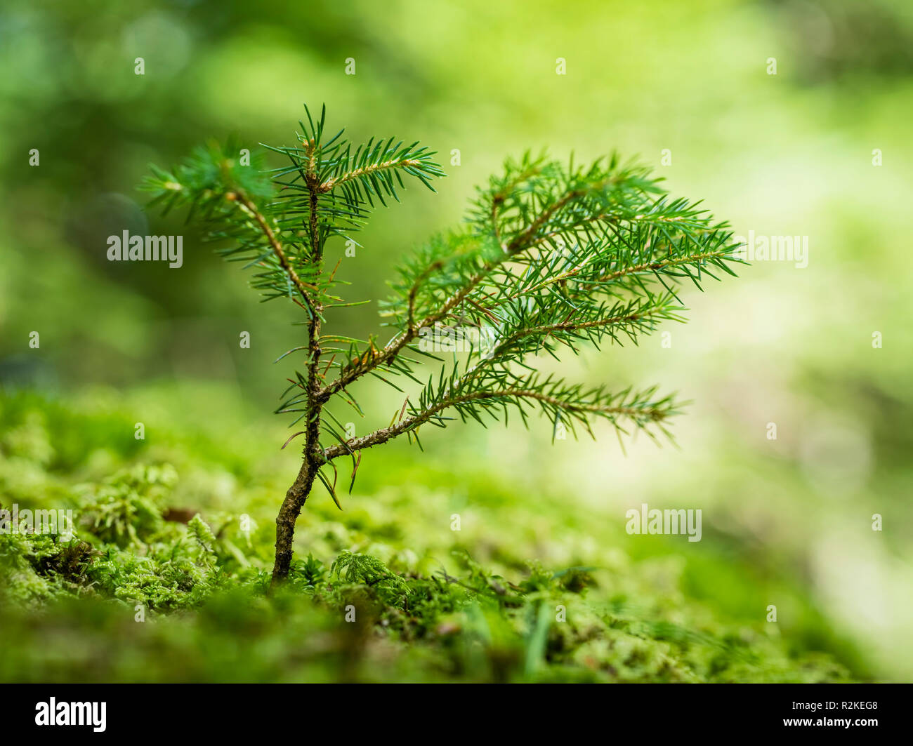Close-up of a young shoot of a conifer - Stock Image