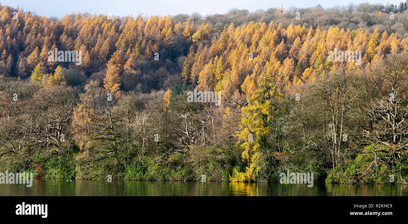 European Larch Trees in Woodland on the Shores of Lake Windermere near Bowness Lake District National Park Cumbria England United Kingdom UK - Stock Image