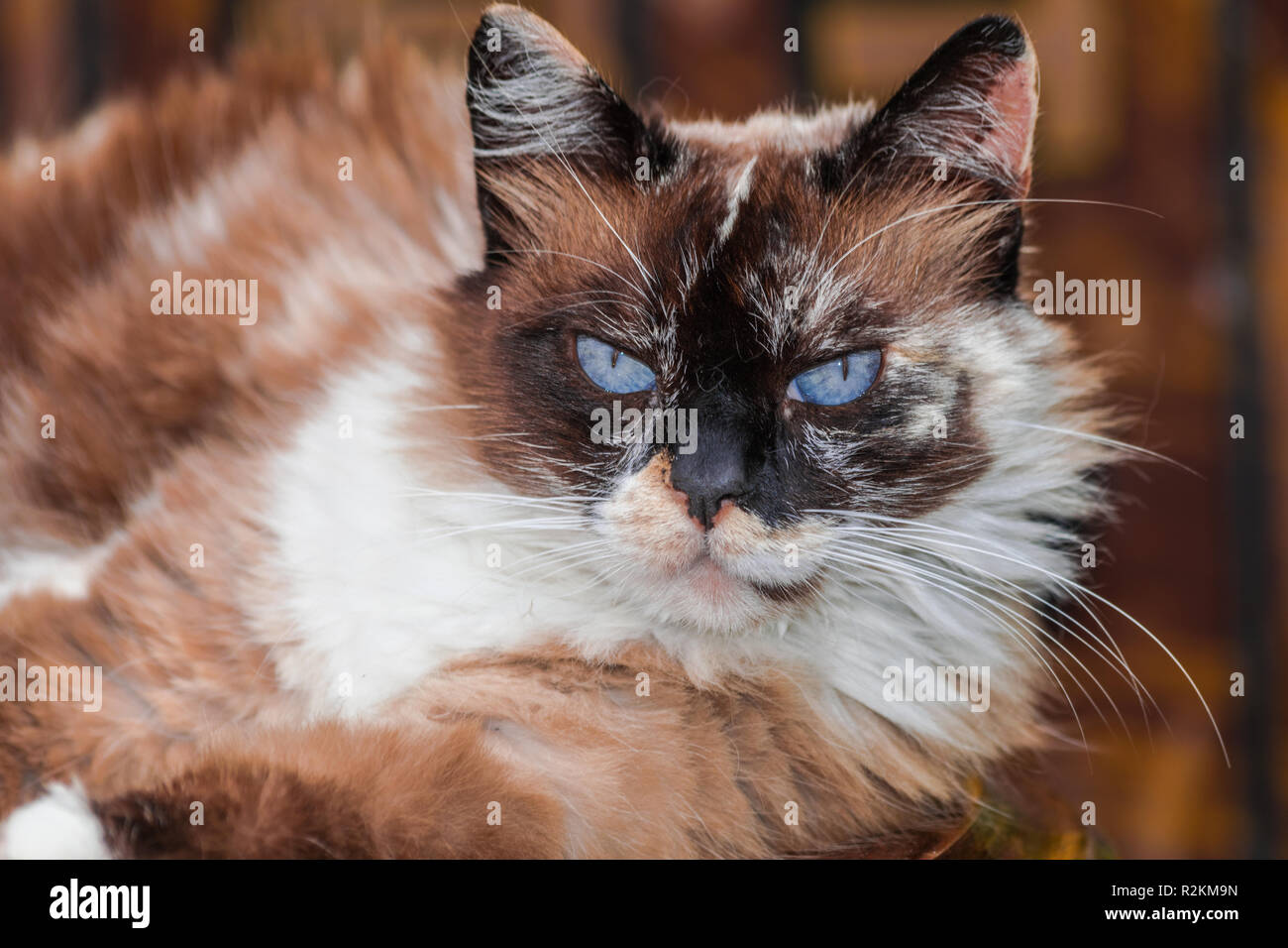 White Brown Long Hair Cat With Blue Eyes Stock Photo Alamy
