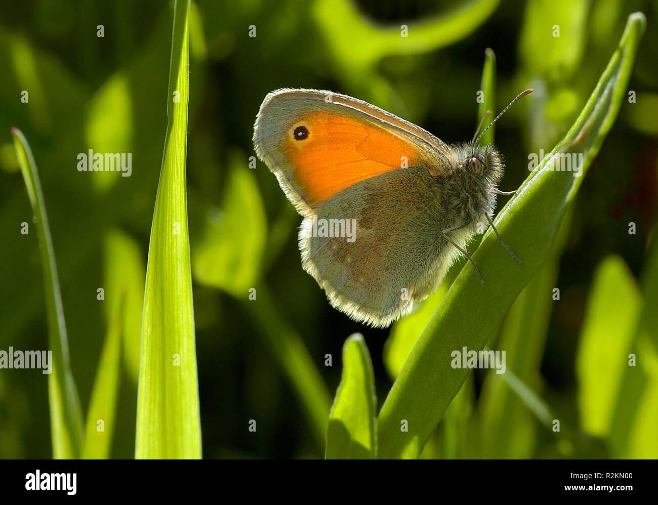 small heufalter - Stock Image