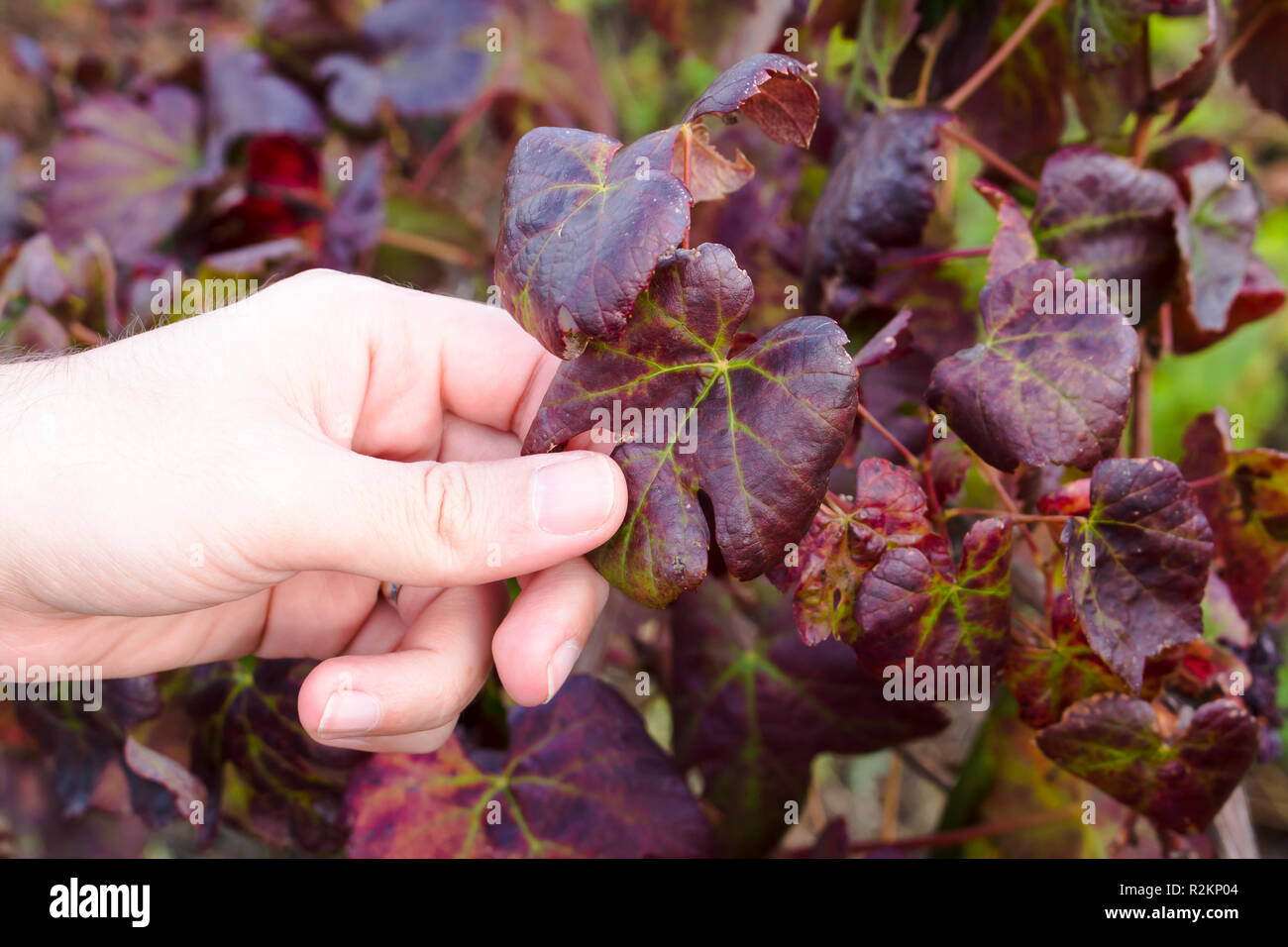 Close up on hand of white man grabbing dried and old leaf of grape-bearing vines, symbolizing fall and end of harvest. Stock Photo