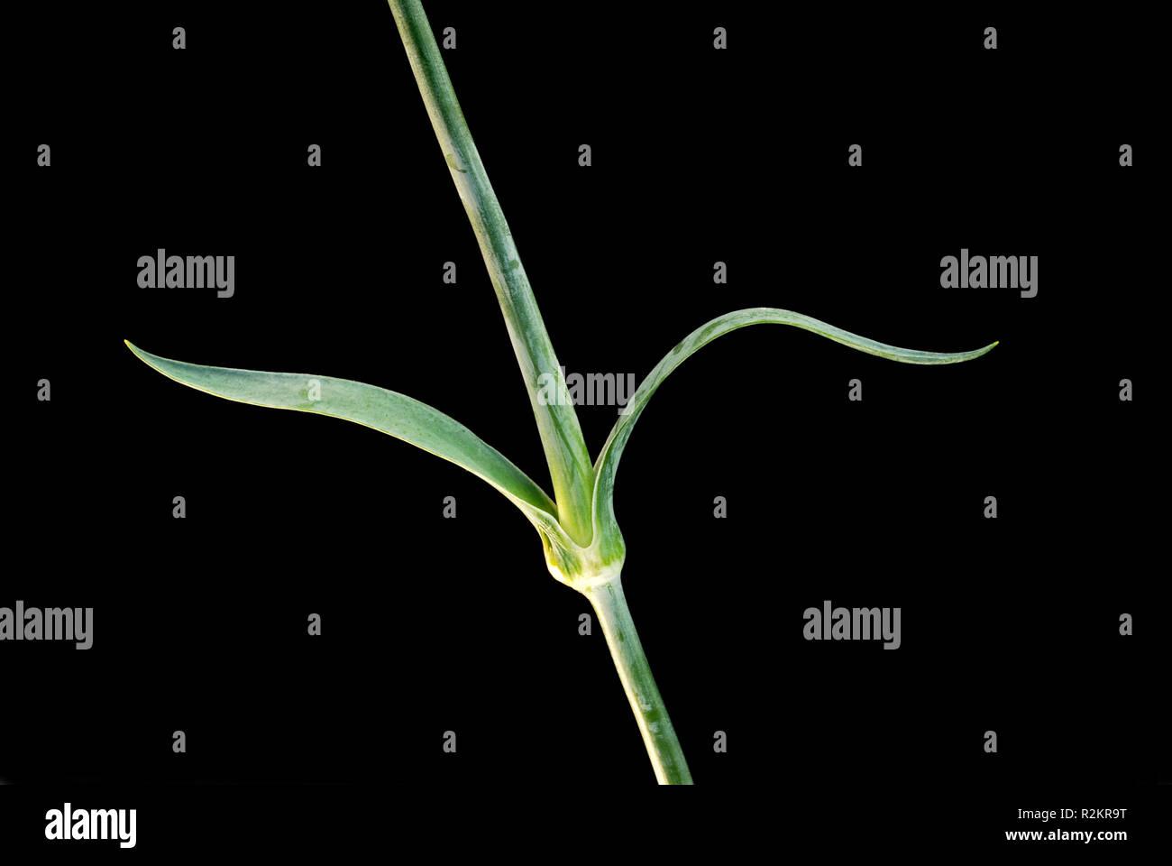 carnation below ii - Stock Image