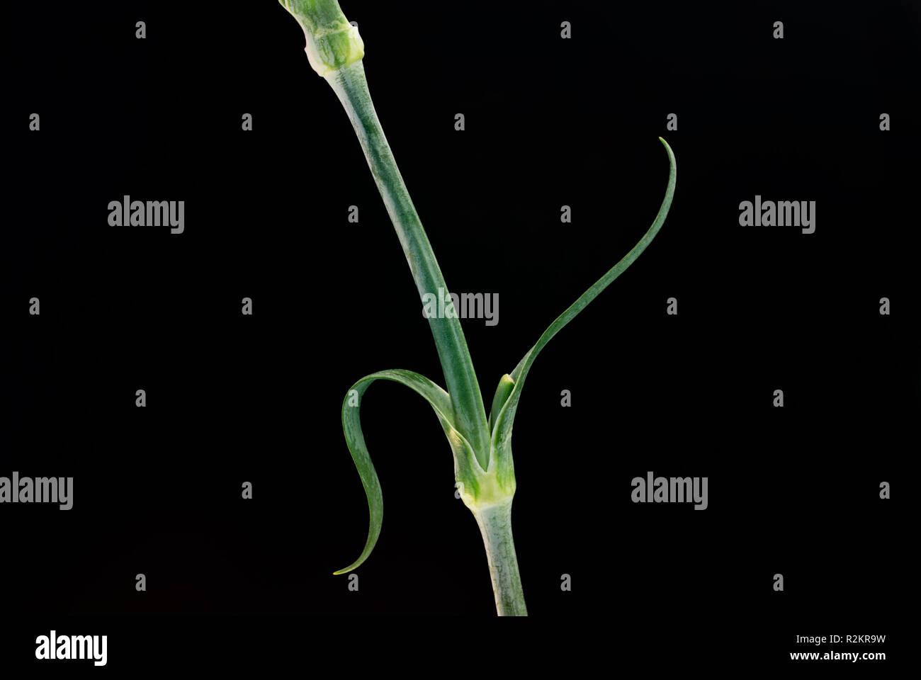 carnation below - Stock Image